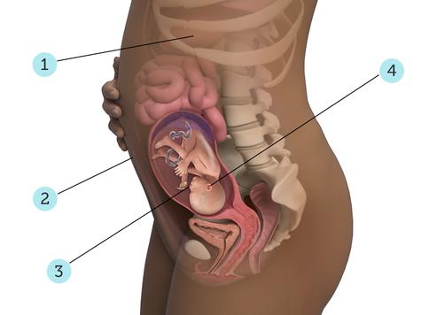 تصویر بارداری شما: هفته ی ۲۳ : کودک شما در ۲۳ هفتگی چه شکلی است؟