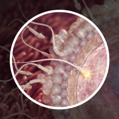 اسپرم آنزیمی ترشح می کند که با فرسایش لایه بیرونی تخمک، بتواند به آن نفوذ کند.