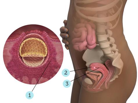 تصویر بارداری شما: هفته ی ۳ : کودک شما در ۳ هفتگی چه شکلی است؟
