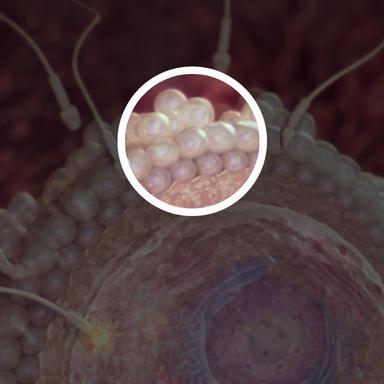 وقتی که تخمک از تخمدان آزاد می شود، با لایه ای حفاظتی از سلول ها پوشیده می شود.