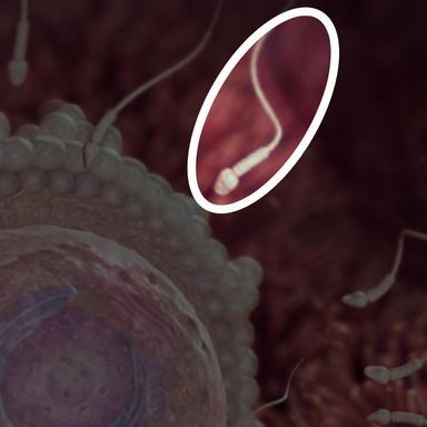 اسپرم به صورت شناور از مجرای رحم و لوله فالوپ عبور می کند تا تخمک را ملاقات کند.